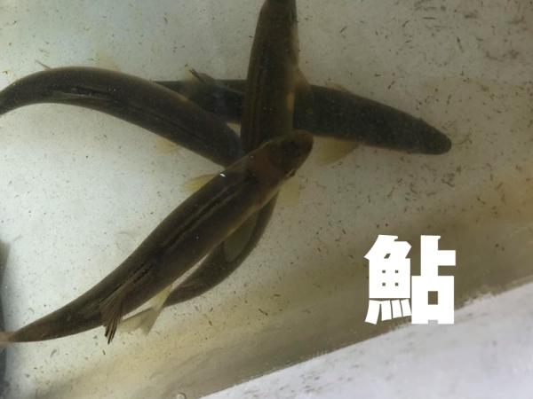 福山市鮎料理